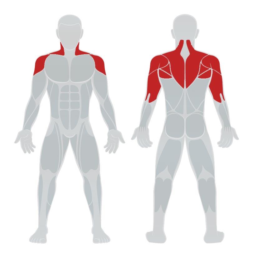 Отжимания от скамьи - мышцы