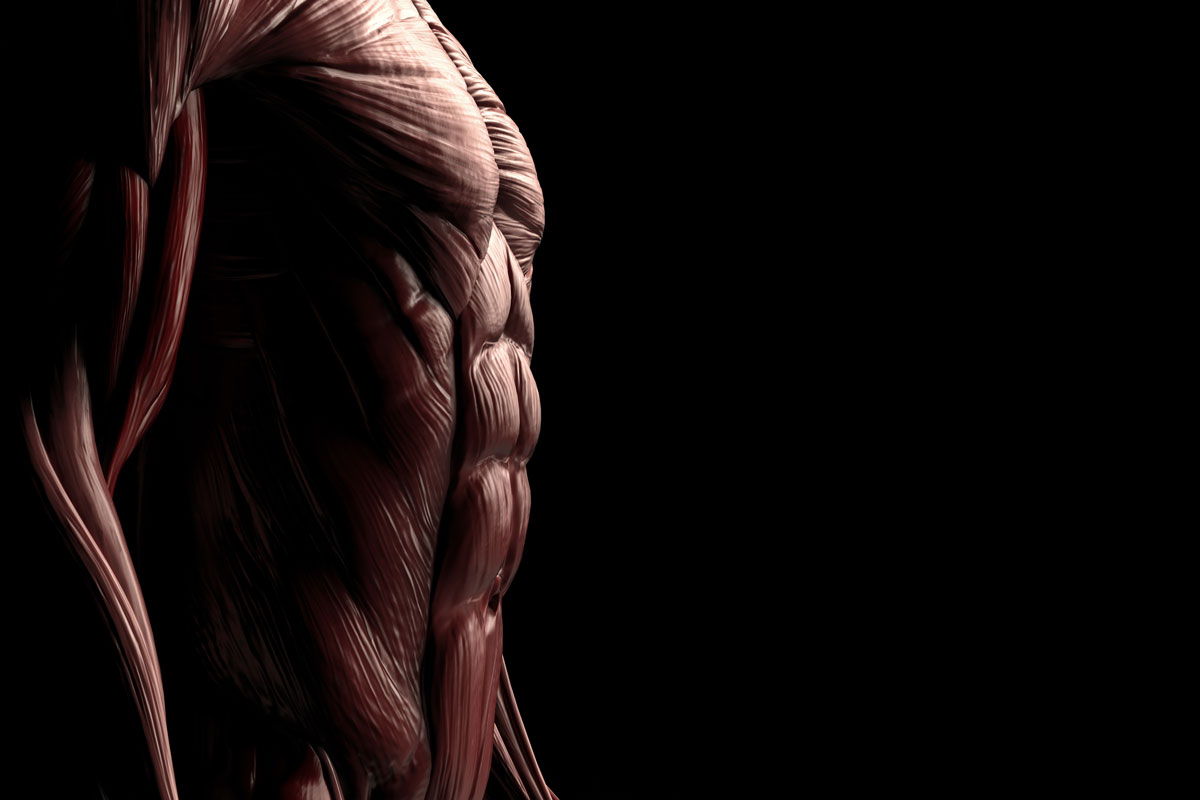 Прямая мышца живота —анатомия