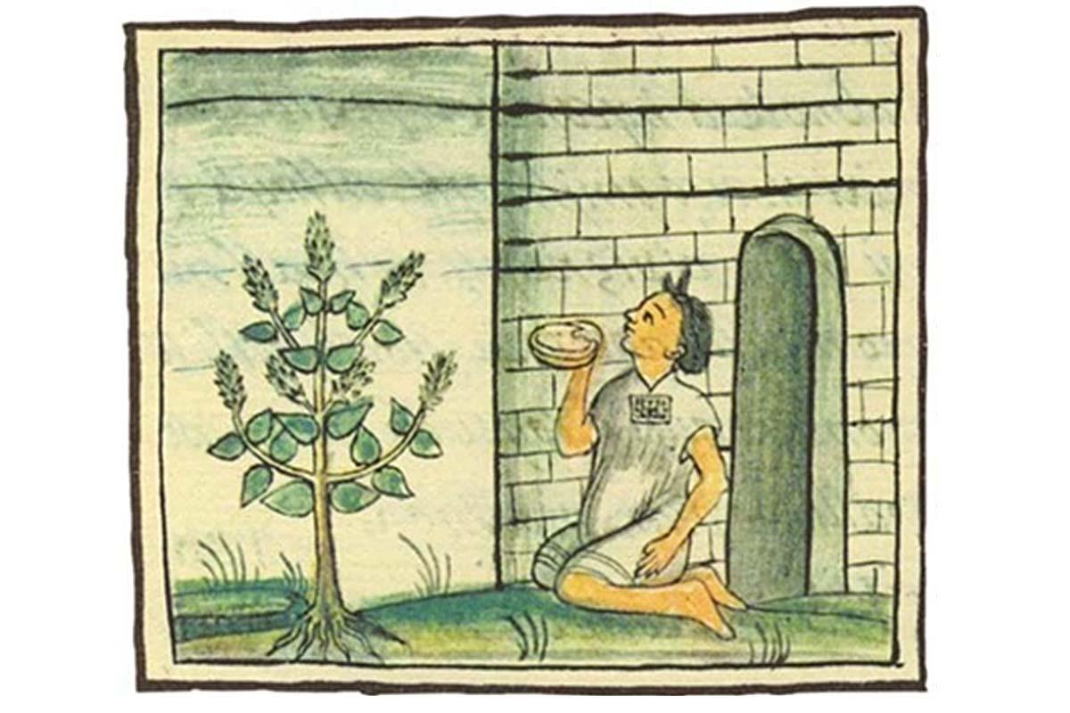 История семян чиа