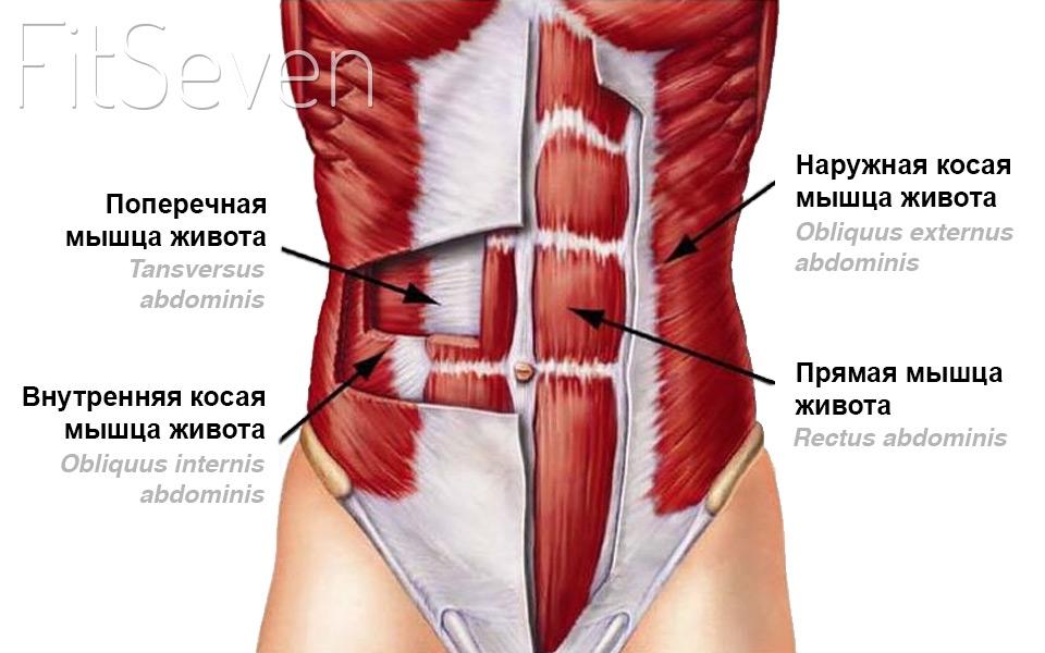 Косые мышцы живота —анатомия