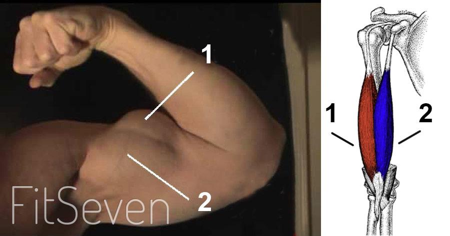 Анатомия мышц бицепса